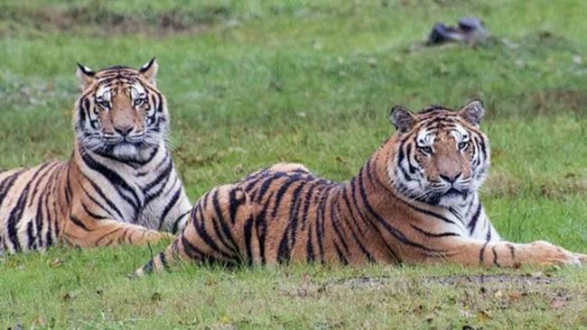 Tigri al Safari Park di Pombia