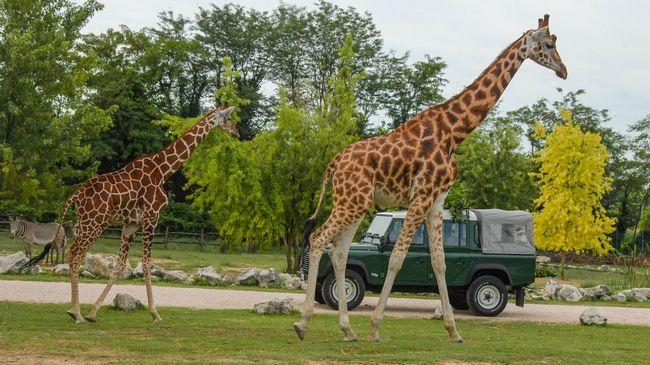 Giraffe al Parco Natura Viva, lo zoo-safari a Bussolengo