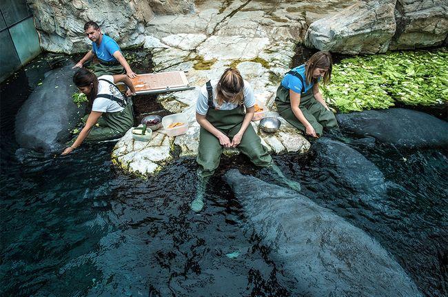 Nutrizione dei lamantini all'Acquario di Genova