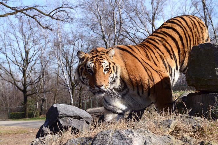Tigre del Safari Park a Pombia