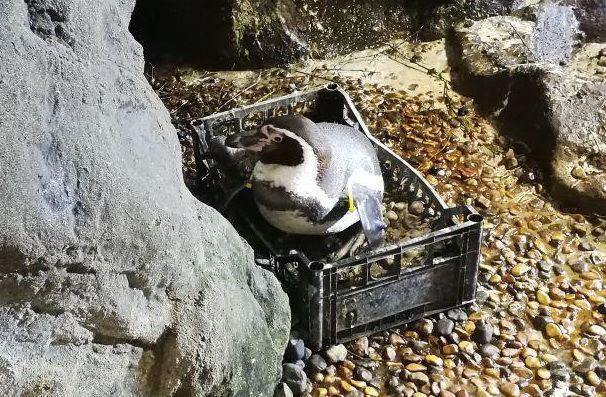 Pinguino che cova un uovo dentro una cesta all'Acquario di Cattolica