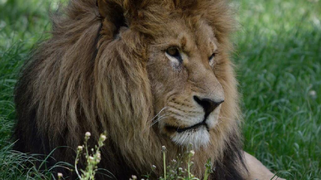 Leone allo Zoo Safari delle Langhe, a Murazzano, in Provincia di Cuneo