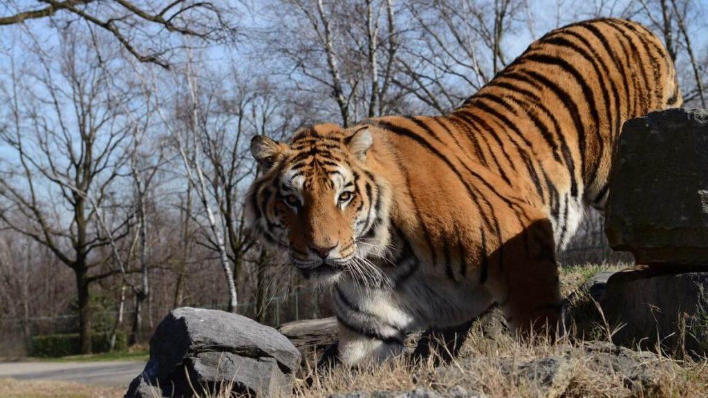 Tigre allo Zoo Safari Park di Varallo Pombia