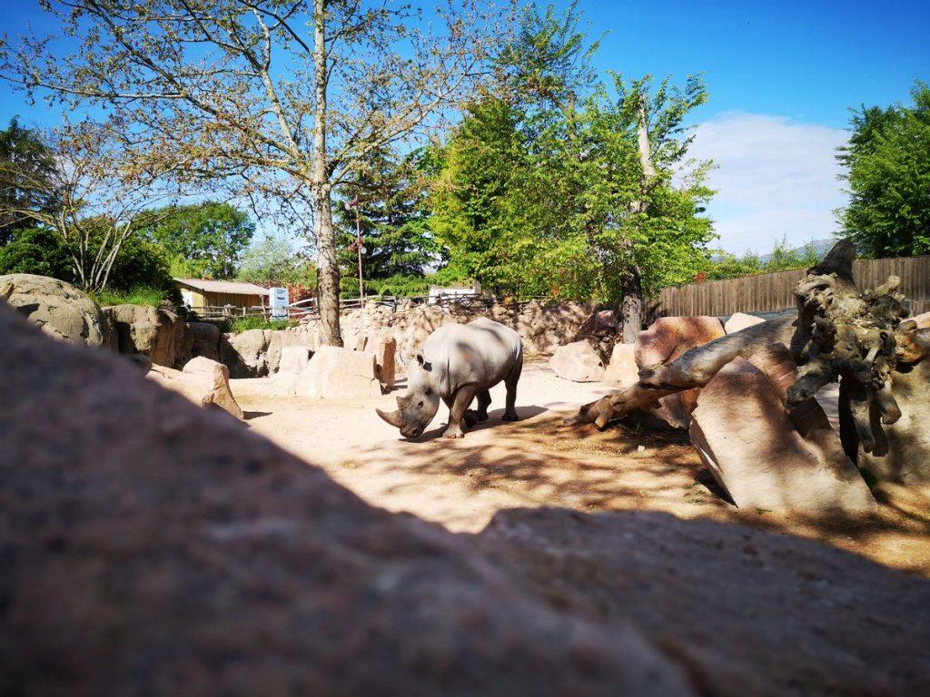 Rinoceronte Rami allo zoo di Cumiana chiamato Bioparco Zoom Torino